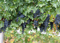 Wine grapes.jpg