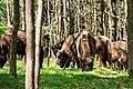 Wisents (Bison bonasus) in wood Almindingen on island Bornholm 1.jpg