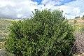 Withania frutescens kz13.jpg