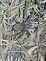 Wolf spider at night.jpg