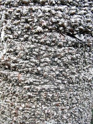 Wollemia - Wollemia nobilis - bark