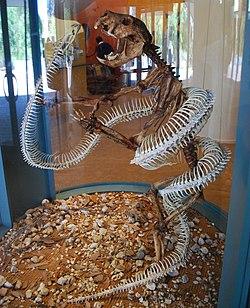 http://upload.wikimedia.org/wikipedia/commons/thumb/5/5d/Wonambi_naracoortensis_vs_Thylacoleo.jpg/250px-Wonambi_naracoortensis_vs_Thylacoleo.jpg