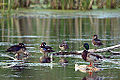 Wood Ducks and a Mallard (7356339566).jpg