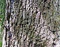 Woodpecker feeding holes. Ash tree, Failford, East Ayrshire.jpg
