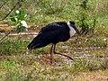 Wooly necked stork 3.jpg