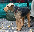 Wystawa psów Rybnik terier walijski 04.10.2009 pl.jpg