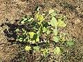 Xanthium orientale s. lat. sl97.jpg