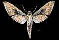 Xylophanes amadis MHNT CUT 2010 0 248 Ecuador Napo male ventral.jpg