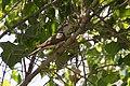Yellow-billed Cuckoo Santa Gertrudis Lane Tubac AZ 2018-08-06 12-20-24 (30147200588).jpg