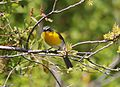 Yellow-breasted Chat 4.jpg