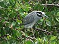 Yellow-crowned Night Heron (16503742656).jpg