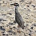 Yellow-crowned Night Heron (4838605736).jpg