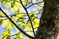 Yellow-throated vireo (40716956533).jpg