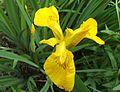 Yellow Iris, Gunnersbury Triangle.JPG