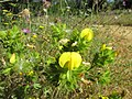 Yellow Restharrow, (Ononis natrix), Branqueira, 07 June 2016.JPG