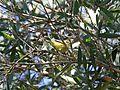 Yellow Thornbill - Flickr - GregTheBusker.jpg