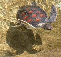 Photo of two swimming turtles