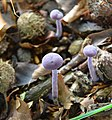 Young Laccaria amethystea (Rodekoolzwam) are appearing with hundreds at Hoge Erf Schaarsbergen at 1 September 2014 - panoramio.jpg