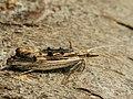 Ypsolopha scabrella - Wainscot smudge (27499773058).jpg