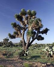 Yucca decipiens.jpg