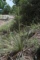Yucca intermedia.jpg