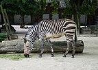 Zebra July 2015-1.jpg