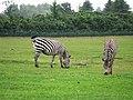 Zebras (22573338039).jpg