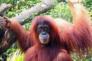 Singapore Zoo - Chomel, a Sumatran orangutan, at Singapore Zoo (Lionel Lee, 2009)