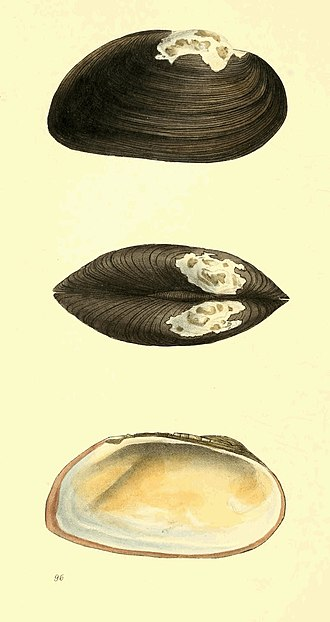 Zoological Illustrations Volume II Plate 96.jpg