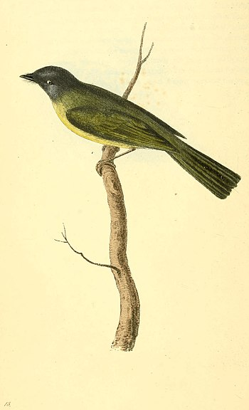 Zoological Illustrations Volume I Plate 13.jpg
