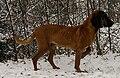 Zoran Spod Ruskiej Granicy the Bavarian Mountain Hound.jpg
