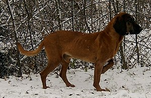 Bavarian Mountain Hound - Image: Zoran Spod Ruskiej Granicy the Bavarian Mountain Hound