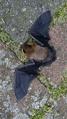 Zwergfledermaus (Pipistrellus pipistrellus).png