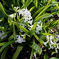 'Hyacinthus orientalis' cultivar at Capel Manor Gardens Enfield London England 2.jpg
