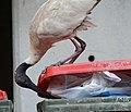 (1)Kensington ibis-3.jpg