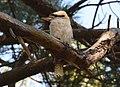 (1)Kookaburra Centennial Park-9.jpg
