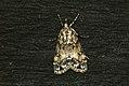 (1344) Eudonia mercurella (3695746568).jpg