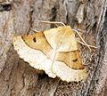 (1921) Scalloped Oak (Crocallis elinguaria) - Flickr - Bennyboymothman.jpg