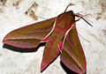 (1991) Elephant Hawk-moth (Deilephila elpenor) (4689668161).jpg
