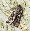 (2243) Early Grey (Xylocampa areola) - Flickr - Bennyboymothman (1).jpg