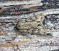 (73.069) (BF2243) Early Grey (Xylocampa areola) - Flickr - Bennyboymothman.jpg