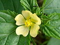 (Sida rhombifolia) flower at Madhurawada.JPG