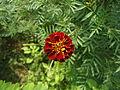 (Tagetes patula) hybrid marigold at Bhadrachalam 01.JPG