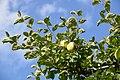 Äpplen 001.jpg
