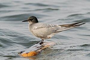Black tern - Image: Čorík čierny (Chlidonias niger) a (4644831482)