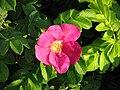 Šípková růže 07.JPG