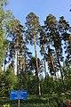 Ахунский сосновый бор.jpg