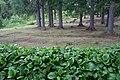 Ботанический сад. Посадки бадана.jpg