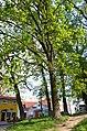 Вікові дерева дуба звичайного, Обухів 01.jpg