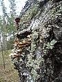 Грибы и лишайнике на стволе упавшего дерева 2.jpg